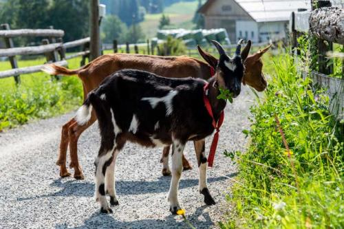 Sauschneiderhof Mariapfarr - Unsere Tiere